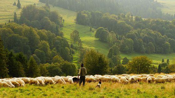 sheep-690198-960-720